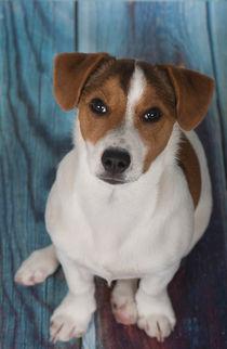 Jack Russell Terrier Welpe / 2 by Heidi Bollich