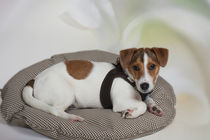 Jack Russell Terrier Welpe / 3 by Heidi Bollich