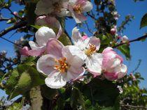 Apfelblüte im Rheinland by rosenlady