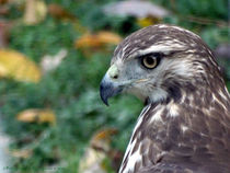 Red Tail Hawk Head Shot von Gena Weiser