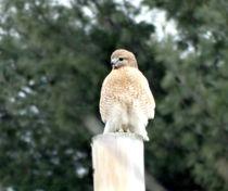 Red Tail Hawk Waiting on a Pole von Gena Weiser