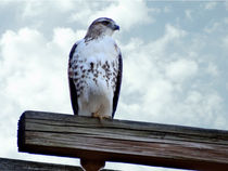 Red Tailed Hawk Waiting by Gena Weiser