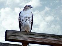 Red Tailed Hawk Waiting von Gena Weiser