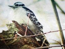 Downy Woodpecker von Gena Weiser