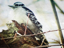 Downey-woodpecker-edited-1