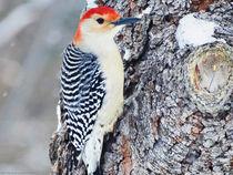 Red Bellied Woodpecker von Gena Weiser