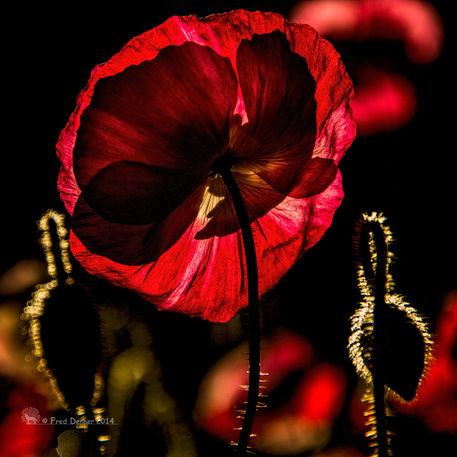 Backlit-poppy