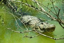 Alligator  von Rob Hawkins