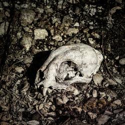 Lynx-skull-nizina-river-bar