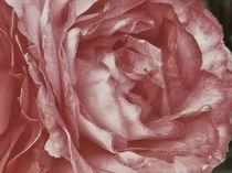 Scent Of A Rose ~by bebra von bebra