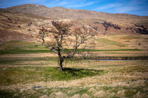 Single-tree-scotland-apr-2016-3