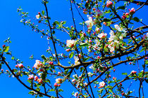 apple blossom by M. Ziehr