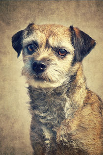 Bella - Border Terrier von AD DESIGN Photo + PhotoArt
