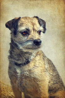 Bella - Border Terrier by AD DESIGN Photo + PhotoArt