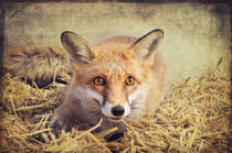 Foxy - Rotfuchs von AD DESIGN Photo + PhotoArt