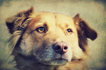 Bingo - Border Collie/Golden Retriever Mix von AD DESIGN Photo + PhotoArt