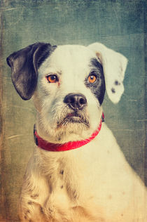 Fili - Boxer/Schnautzer-Mix by AD DESIGN Photo + PhotoArt