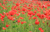 Mohnblumenwiese 4 poppies meadow 4 von Monika Jasmine