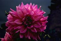 pink Dahlie pink dahlias by Monika Jasmine