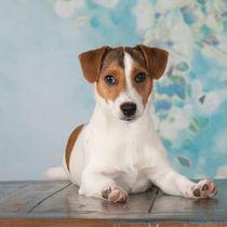 Jack Russell Terrier Welpe / 4 by Heidi Bollich