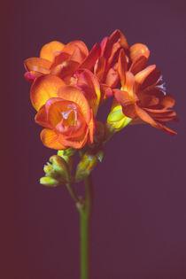 Fresien, zarte Blüten, voller Duft von Susi Stark