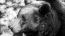 Big Sad Brown Bear Version B&W by Andreas V.