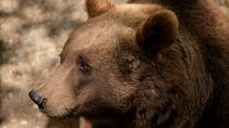 Big Sad Brown Bear von Andreas V.