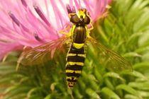Wespen-Schwebfliege an Distelblüte von toeffelshop