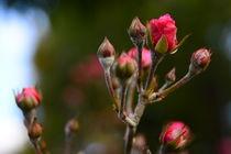 Rose von Sonja  Bausr
