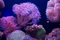 Koralle von Bernd Fülle