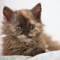 Selkirk Rex Kitten / 2 von Heidi Bollich