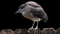 Black-Crowned Night-Heron von Gena Weiser