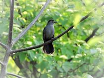 Catbird-in-the-spring