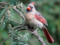 Ohio Female Cardinal von Gena Weiser