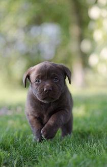 Labrador Welpe / 80 von Heidi Bollich