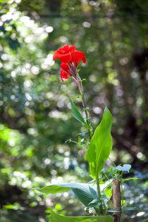 Rote Blume in der grünen Wildnis von Gina Koch