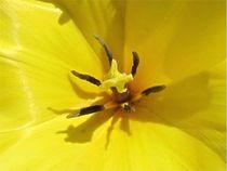 Tulpenherz von Angelika  Schütgens