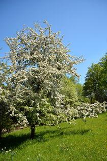 Apfelbaum von gugigei