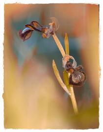 Orchideen in Andalusien von Clemens Greiner