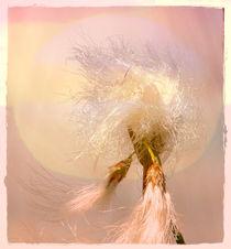 Wollgras in der Abendsonne by Clemens Greiner