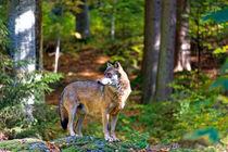 Wolf im Bayerischen Wald by Borg Enders