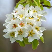 Birnenblüten by gugigei