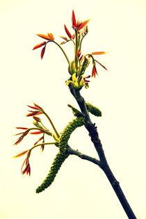 Walnuss-Blüte by gugigei