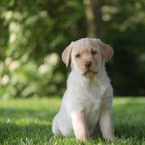 Labrador Welpe / 76 von Heidi Bollich