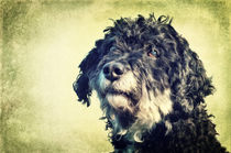 Blacky - Tibet-Terrier/Pudel Mix von AD DESIGN Photo + PhotoArt