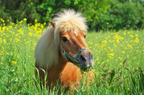 Shetland Pony Willy von AD DESIGN Photo + PhotoArt