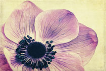 Beauty - Anemone by AD DESIGN Photo + PhotoArt