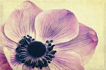 Beauty-anemone