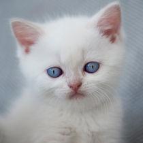 Britisch Kurzhaar Kitten / 72 von Heidi Bollich