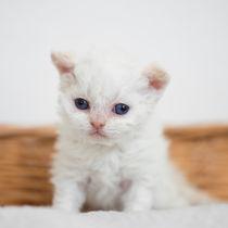Selkirk Rex Kitten / 5 von Heidi Bollich